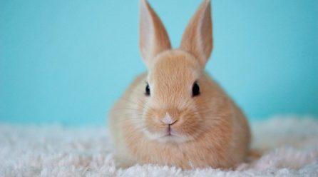 Co powinien jeść królik domowy?