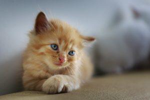 Jak nauczyć kota korzystać z kuwety?