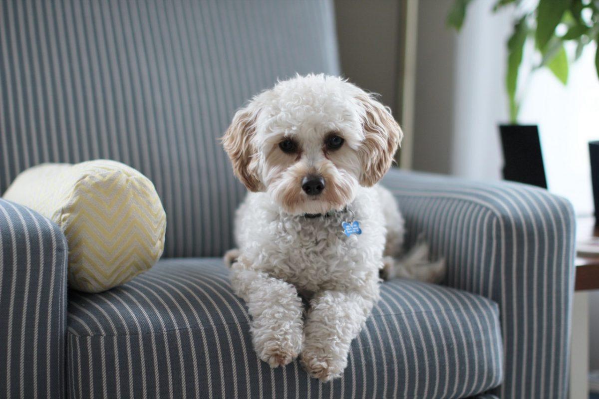 Czynniki mające wpływ na wygląd sierści psa