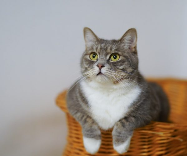 Jak nauczyć kota spacerowania na smyczy? – webinarium
